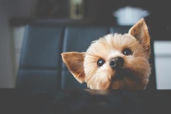 Kleine schattige hond portret