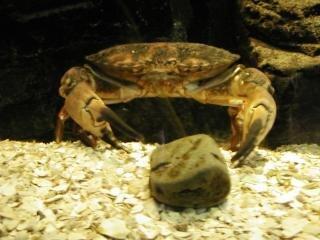 Krab, klauwen, onderwater