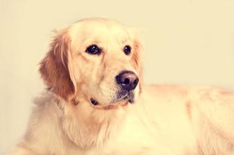 Leuke golden retriever hond.