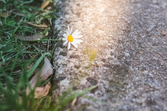 Mooie wilde madeliefje bloem op de weg in zonlicht.