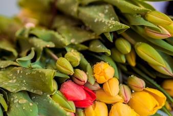 Rode en gele, kleurrijke tulpen, bloemen. Boeket van kleurrijke tulpen close-up op een oude geschilderde houten achtergrond