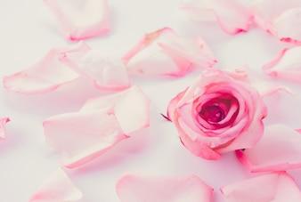 Roze en witte roos met bloemblaadje