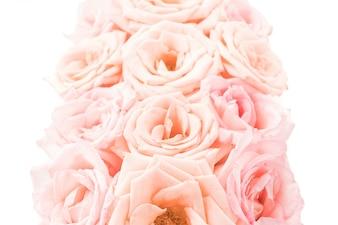 Roze en witte roos