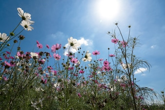Vers en gedroogd kosmos bloemenveld