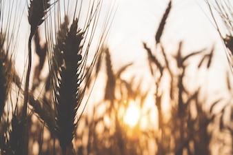 Wazige achtergrond van zonsondergang met veld van tarwe rijst, lente en zomer