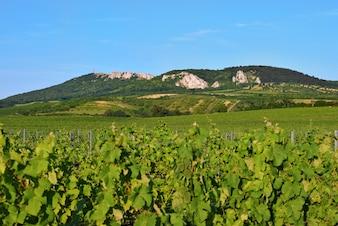 Wijngaarden onder Palava. Tsjechië - Zuid-Moravië Gewest wijn regio.