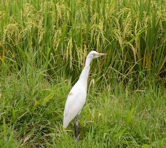 Witte reiger op rijstveld