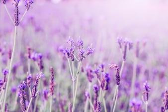 Zonsondergang over een violet lavendelveld in de Provence, Hokkaido