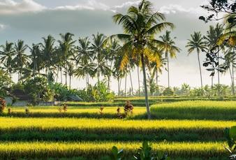 Zonsondergang over rijstveld