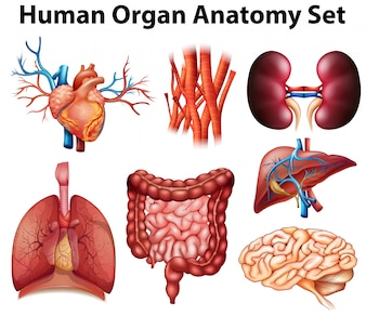 Affiche van menselijk orgaan anatomie set