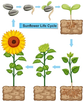 Levenscyclus van zonnebloemplant