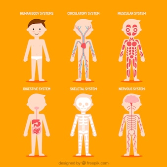 Mooi menselijk lichaam systemen