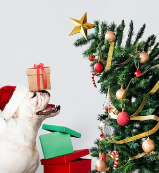 Śliczny buldoga szczeniak jest ubranym Santa kapelusz podczas gdy trzymający prezenta pudełko