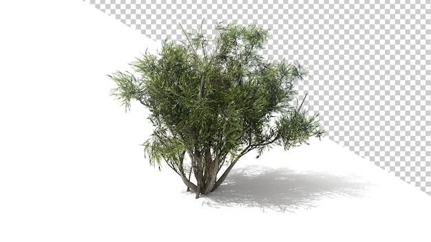 Afrykańskie drzewo oliwne z odosobnionym drzewem renderowania 3d