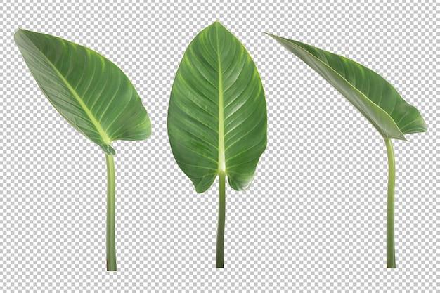 Anthurium veitchii liście na białym tle. obiekt roślin ozdobnych