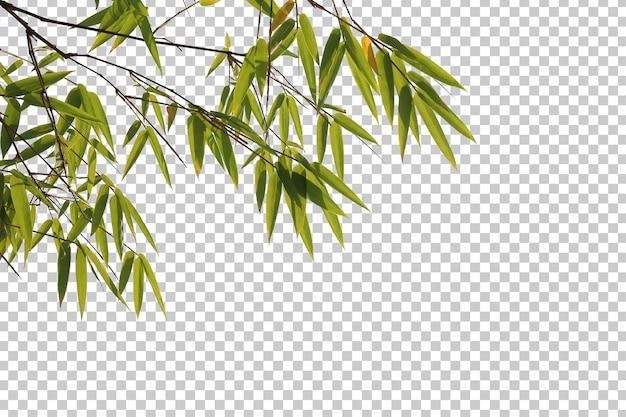 Bambusowe liście i gałąź na białym tle