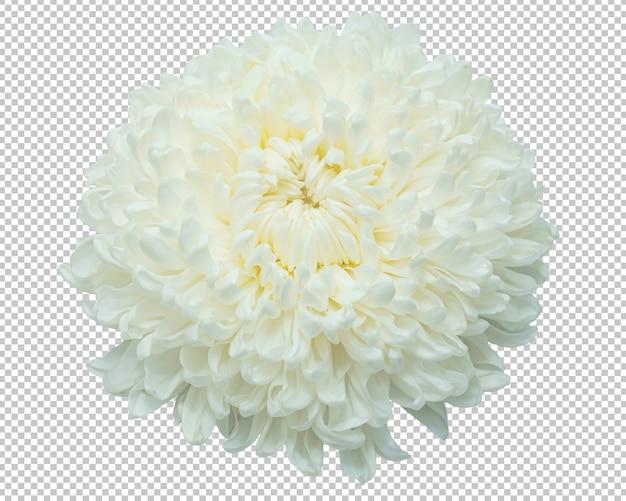 Biała chryzantema kwitnie na odosobnionej przezroczystości. kwiecisty.