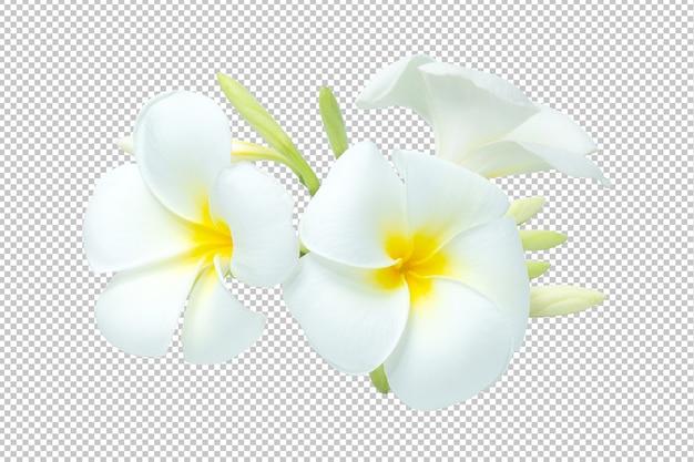 Biało-żółty bukiet plumeria kwiaty przezroczyste. kwiatowe