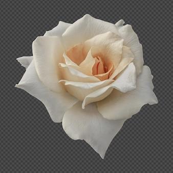 Biały kwiat róży na białym tle renderowania