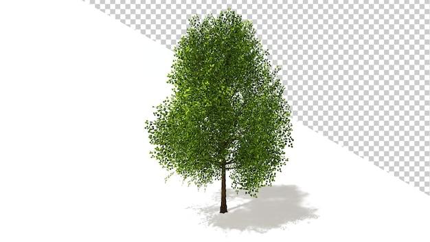Czarna topola z odosobnionym drzewem renderowania 3d