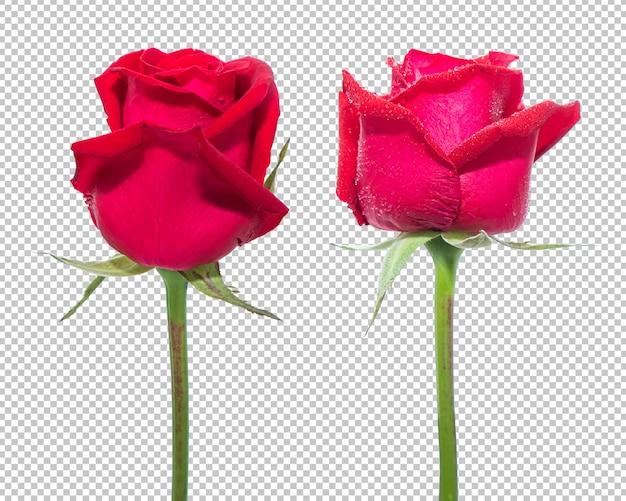 Czerwona róża kwiaty na przezroczystości na białym tle.