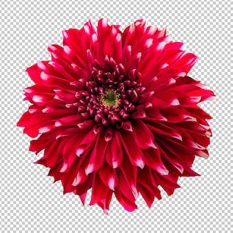 Czerwony kwiat dalii na białym tle renderowania