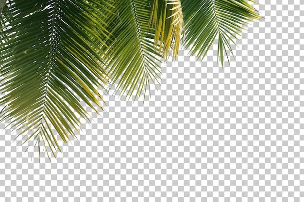 Drzewo kokosowe pozostawia pierwszy plan na białym tle