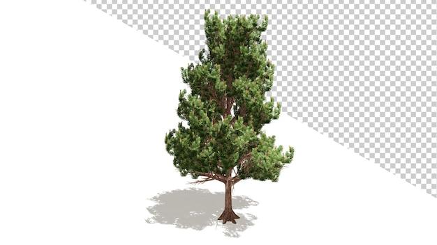 Drzewo sosny austriackiej z odosobnionym drzewem renderowania 3d
