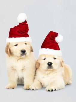 Dwa golden retriever szczeniaki jest ubranym Santa kapelusze