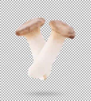 Grzyb pleurotus eryngii na białym tle