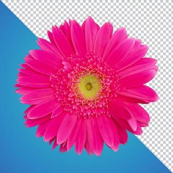 Izolowany kwiat gerbera psd
