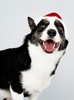Kardigan Welsh Corgi z czapką na Boże Narodzenie