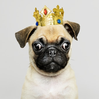 Mops szczeniak sobie koronę
