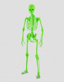 Pełnowymiarowy męski ludzki szkielet