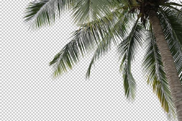 Pierwszy plan palmy kokosowej na białym tle