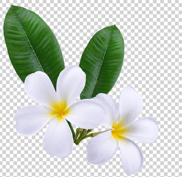 Plumeria, frangipani kwiaty na białym tle. płatne psd