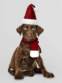 Portret cute puppy labrador retriever na sobie kapelusz santa