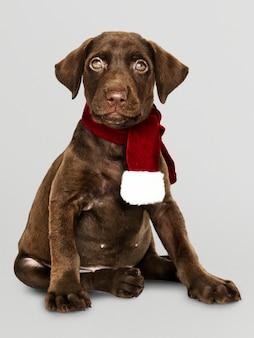 Portret śliczny labrador retriever jest ubranym bożenarodzeniowego szalika