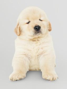 Portret uroczy golden retriever szczeniak