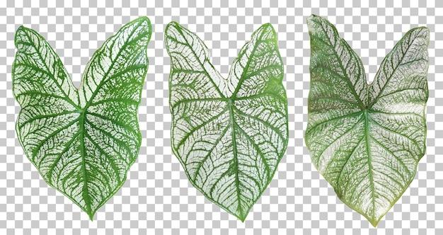 Realistyczna kolekcja dwukolorowych liści caladium na białym tle