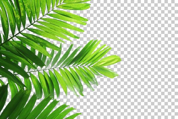 Realistyczna palma pozostawia pierwszy plan na białym tle