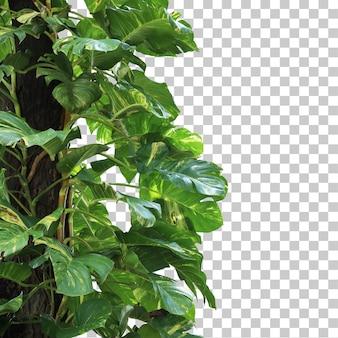 Realistyczne monstera deliciosa variegata na pierwszym planie na białym tle