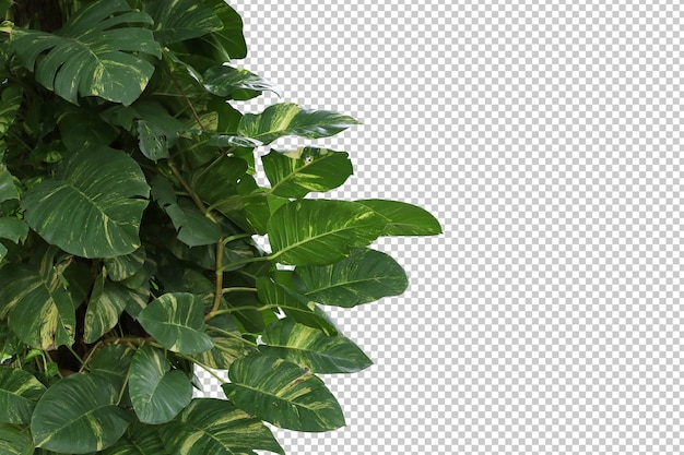 Realistyczny pierwszy plan liścia epipremnum aureum na białym tle
