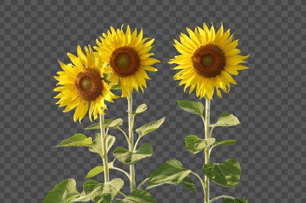 Realistyczny słonecznik na białym tle
