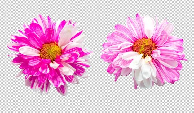 Różowa i biała chryzantema kwitnie na odosobnionym przezroczystości tle