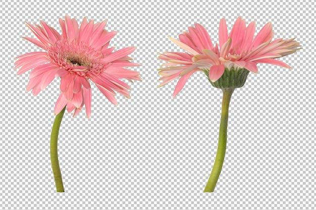 Różowe kwiaty gerbera
