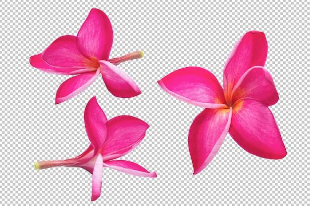 Różowe kwiaty plumeria przezroczyste. kwiatowe