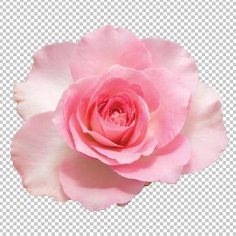 Różowe kwiaty róży na przezroczystym