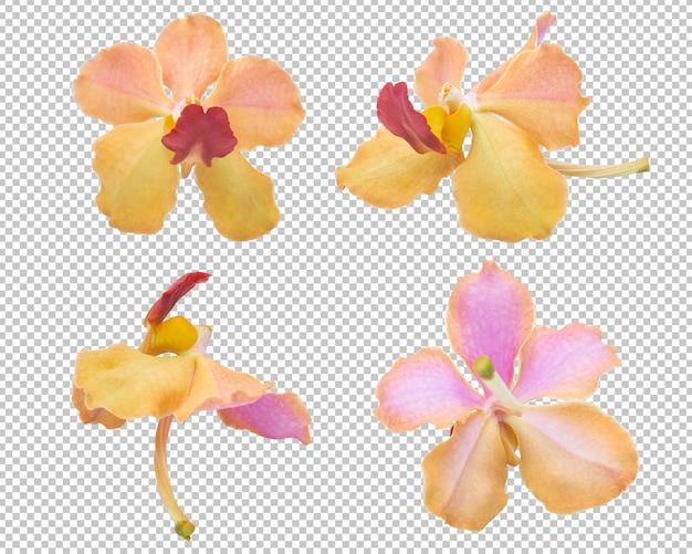 Różowo-pomarańczowe kwiaty orchidei na przezroczystości na białym tle.