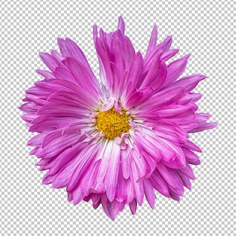 Różowy kwiat chryzantemy na białym tle renderowania